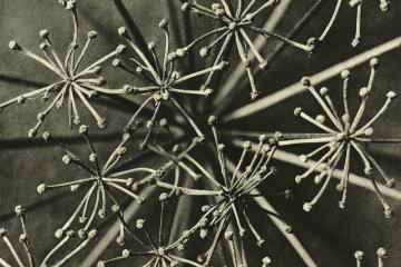 Karl Blossfeldt  botanical image